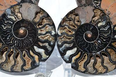 9521 RARE 1in100 BLACK Ammonite PAIR Deep Crystals 110myo FOSSIL XXL 156mm 6.1""