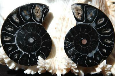 """1990 DOUBLE RARE 1in100 BLACK and D-SHAPED Ammonite PAIR 44gms FOSSIL 47mm 1.8"""""""