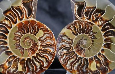 14391 Cut Split PAIR Ammonite Deep Crystal Cavity 110myo Fossil 96mm XL 3.8""