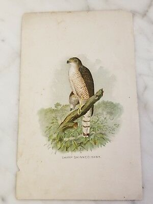 Antique Book Plate Color Lithograph of Sharp Shinned Hawk