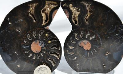 """8686 RARE 1 in 100 BLACK Ammonite PAIR Crystals LARGE 140gm FOSSIL 85mm 3.3"""""""