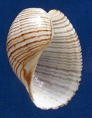 Gems Under the Sea 80301 Seashell Bubble Snail Hydatina physis 32mm