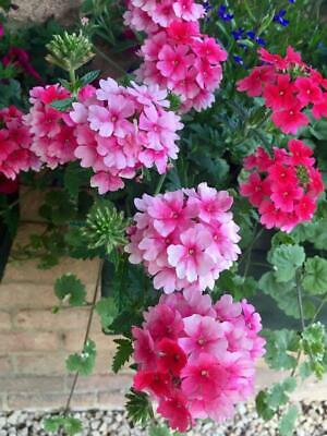 Trailing Verbena 50 Seeds, Cascading, Hanging Basket Verbena, Mixed Colours