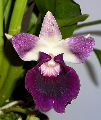Cochleanthes amazonica Hybride Orchidee  blühstark im 9 cm Topf