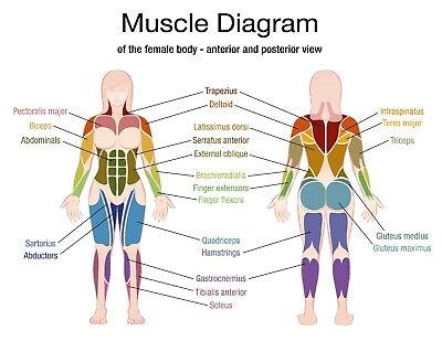 Charts Diagrams Education Human Body Muscle Female  91x61cm  quality educational