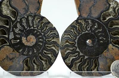 """e4262xx RARE 1 in 100 BLACK Ammonite PAIR Crystals LARGE 146gm FOSSIL 88mm 3.4"""""""