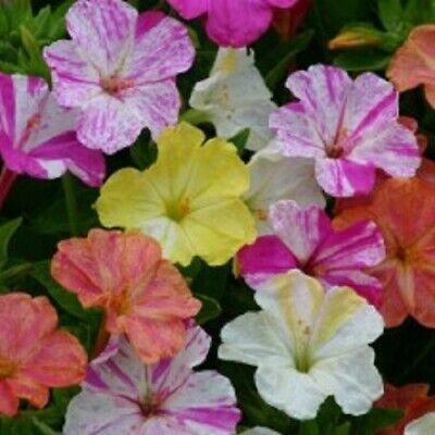 Kings Seeds - Mirabilis Jalapa Marbles Mixed - 40 Seeds