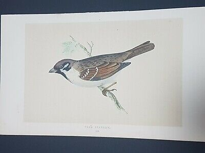 Tree sparrow, Antique Hand Coloured Print, Morris, 1853, First Edition