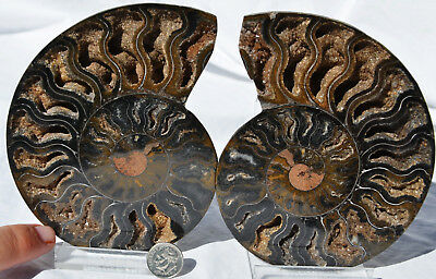 9578 RARE 1in100 BLACK Ammonite PAIR Deep Crystals 110myo FOSSIL XXL 134mm 5.3""