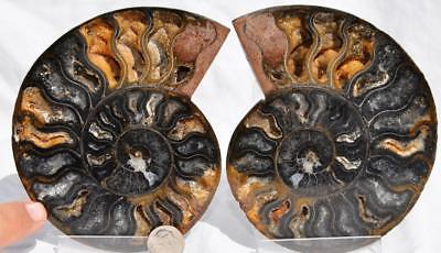 "73761 Fossil PAIR Ammonite Great Color Crystal Cavities LARGE 5.0"" 110myo 125mm"