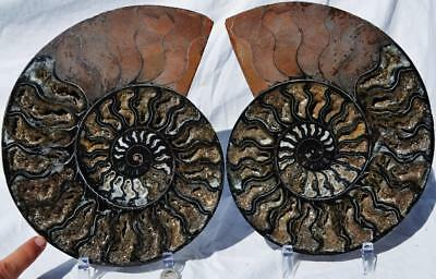 "7291xxx Ammonite PAIR RARE 1 in 100 BLACK Deep Crystals XXXXL 10.8"" HUGE 272mm"
