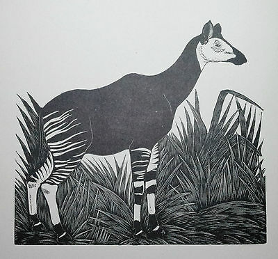 THE OKAPI : Old Art Deco Wild Animal Print of a 1920s Wood-cut By DAGLISH