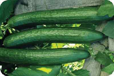 10 - 1000+ Early Spring Burpless Hybrid Cucumber Seeds - Great for Slicing!!