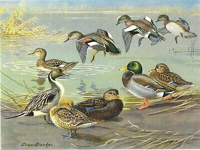 Mallard Black Widgeon Pintail Gadwall Ducks Birds 1960 vintage color litho pl.7