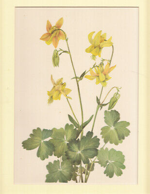 Lemon Columbine North American Wildflower color litho. 1925 LtdEd matted p.201