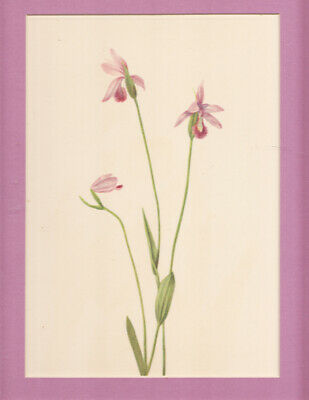 Rose Pogonia   North American Wildflower color litho. 1925 LtdEd matted p.218