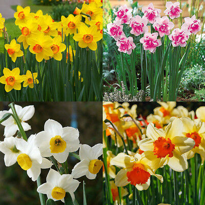 400pcs mixed daffodil double narcissus duo bulbs seeds spring plant flower'decor