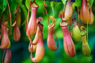 Nepenthes 5 Fresh Seeds- Stunning Plant