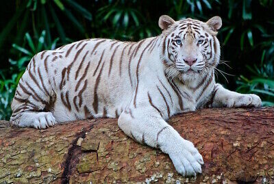 DIGITAL PHOTO PICTURE IMAGE WALLPAPER white tiger DESKTOP BACKGROUND 2
