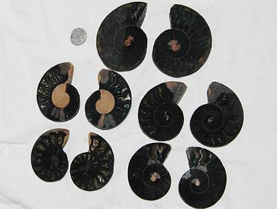 7951a LOT of FIVE/5 RARE 1in100 BLACK Ammonite PAIR Crystals FOSSIL Medium 5-7cm