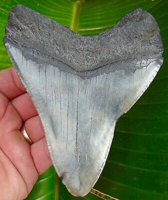 Megalodon Shark Tooth - OVER 4 & 7/8 in.  REAL FOSSIL  - NO RESTORATIONS