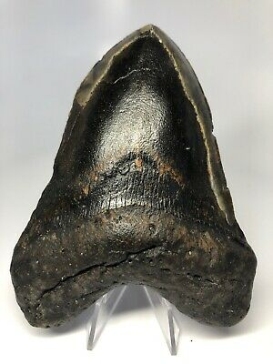 """Nice 5.27"""" Real Megalodon Fossil Shark Tooth Rare 3521"""
