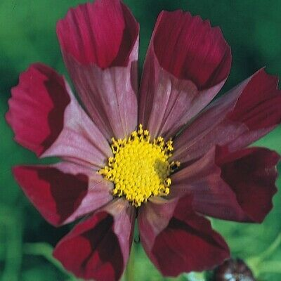 Cosmos - Pied Piper Red - 100 Seeds