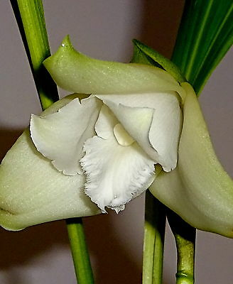 Lycaste Liberty Snow Pearl NEW  Selection Orchidee Orchideen