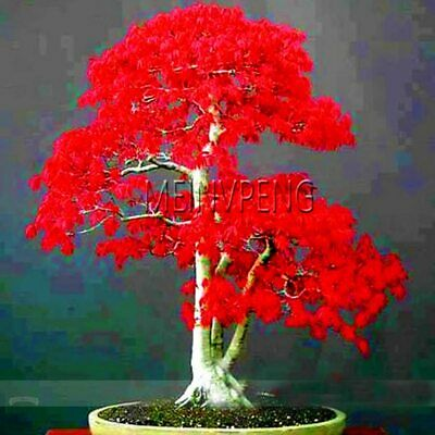 50pcs Japanese Red Maple Bonsai Tree Seeds Plant Pack Very Beautiful Indoor Tree