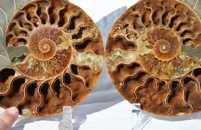 2797xx Rare Coupe Fendu Paire Ammonite W/1-whole Attaché Fossile 200mm XXXL