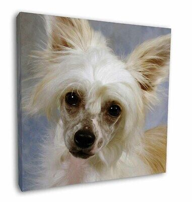 "Chinese Crested Powder Puff Dog 12""x12"" Wall Art Canvas Decor, Pict, AD-CHC3-C12"