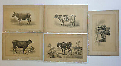 5pc x Lithographs COW BULLOCK   - c1888  Julius Bien 9in x 6in (3)