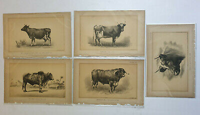 5pc x Lithographs COW BULLOCK  - c1888 Julius Bien 9in x 6in (2)