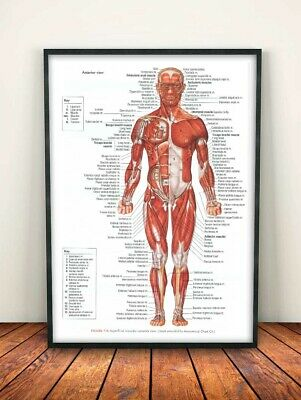 Human Body Major Anterior Muscles Anatomy A4 Poster