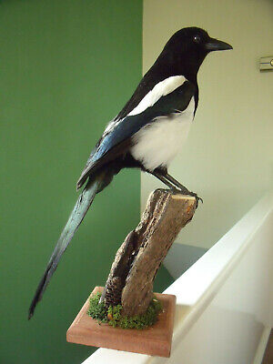 c19ba4194c8fb TAXIDERMY MAGPIE - £69.00 | PicClick UK