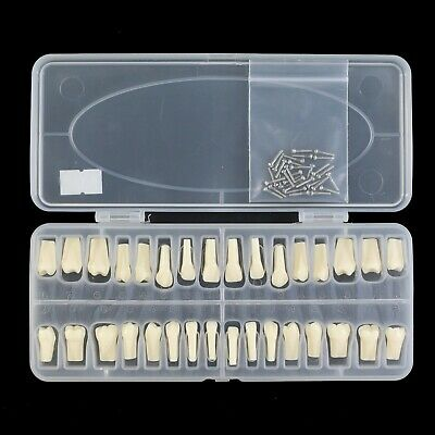 Dental Typodont Model Replacement 32 Screw-in Teeth kilgore Nissin 200 Type