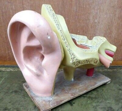 Antique Science Anatomical Model Ear Laboratory Medical Display Teachers Aid