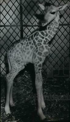 1948 Press Photo Hank the giraffe born in New York and work for the circus