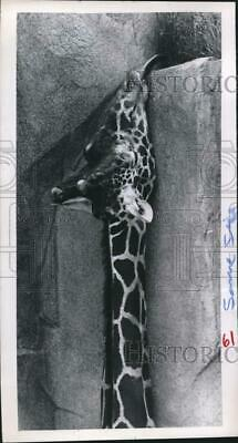 1967 Press Photo Giraffe stretches to reach shoots at Milwaukee County Zoo