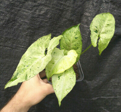 SYNGONIUM FRECKLES - variegata - rare - rooted - no philodendron monstera!
