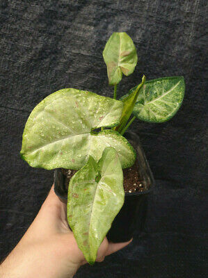 SYNGONIUM CONFETTI TRICOLOR - variegata - rare - rooted - philodendron monstera!