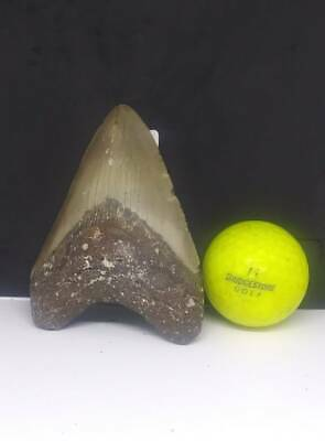 "4.00"" Megalodon Shark Tooth Fossil 100 % Authentic"