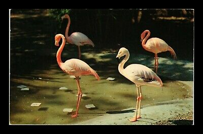 Dr Jim Stamps Us Flamingos San Diego Zoo Chrome Topical Postcard