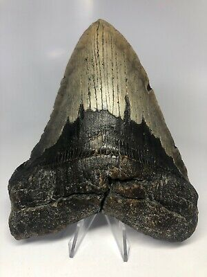 "Megalodon Shark Tooth 5.98"" Natural - Real Fossil - Amazing 4002"