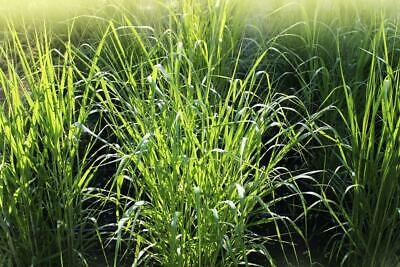 Frosted Explosion Grass 30 Seeds - Panicum Elegans -Dramatic Grass, Easy to Grow