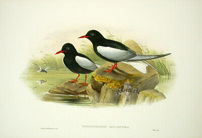 1862 Gould Birds Great Britain 1st Ed Original Print White Winged Tern, Text