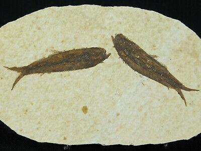 TWO! Small 50 Million Year Old Restored Knightia Fish Fossils! Wyoming 108gr e