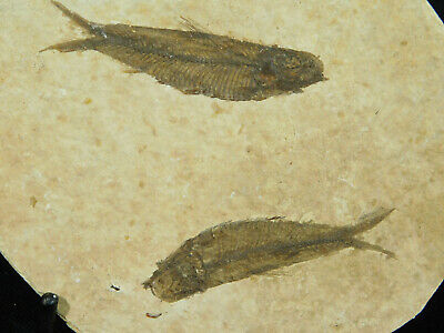 TWO! Small 50 Million Year Old Restored Knightia Fish Fossils! Wyoming 139gr e