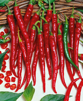 Hot Cayenne Chilli Pepper Vegetable - 60 Seeds - Long Slim UK Seller - FREE P&P