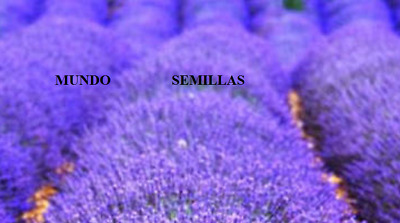 LAVANDA officinalis muy OLOROSA  400 semillas seeds